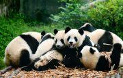 เที่ยวศูนย์อนุรักษ์หมีแพนด้าเฉิงตู (Chengdu Research Base of Giant Panda Breeding)