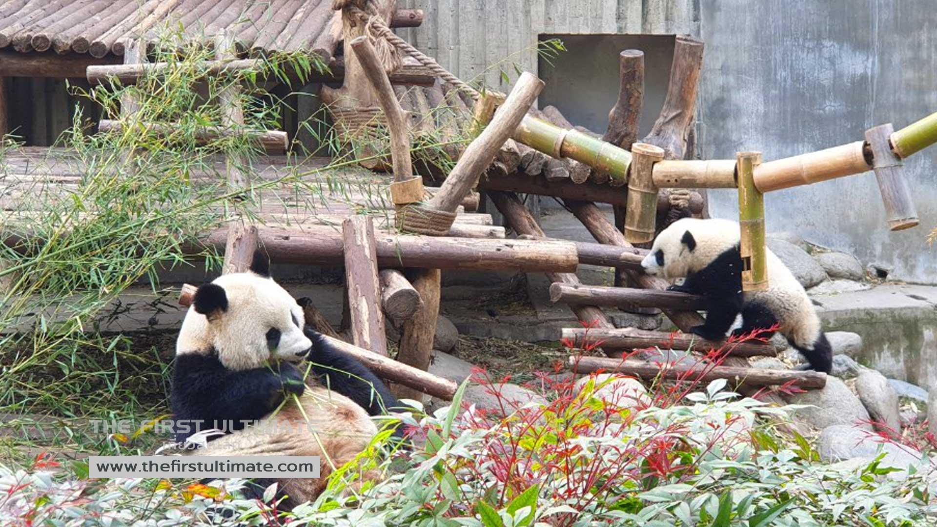 Giant Pandas and Chengdu เที่ยวเฉิงตู ไปดูแพนด้ากัน
